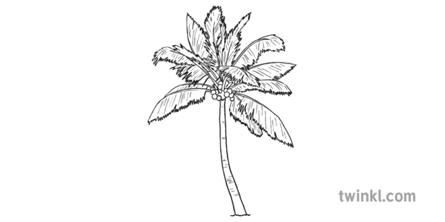 Coconut Palm Tree Black And White Illustration Twinkl