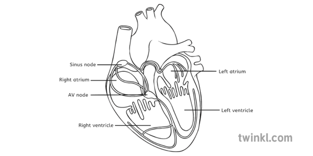 Heart Diagram Labelled Black and White Illustration - Twinkl
