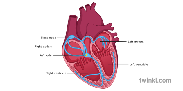 Heart Diagram Labelled Illustration