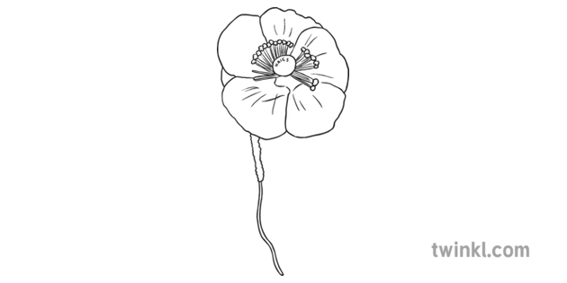Old Fashioned Poppy Black And White Illustration Twinkl