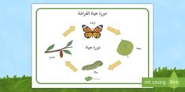 الفراشة فراشات دورة حياة الفراشة