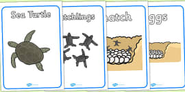 Sea Turtle Life Cycle Growth Display Posters (under the Sea)