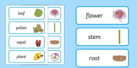 Parts of a Plant Word Cards