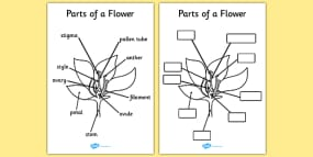 Parts of a Plant and Flower Labelling Worksheet - Plant Diagram