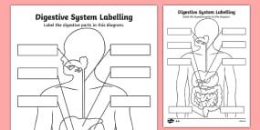 Human Skeleton Labelling Sheets (Common Names) - human skeleton