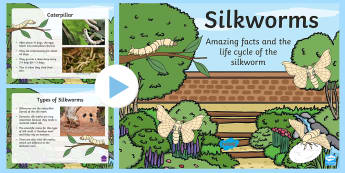 Silkworm Information and Life Cycle PowerPoint - Silkworm, silk worm, larva, caterpillar, silk moth, insect, silk, fabric, how silk is made, mulberry