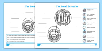 The human body ks2 science resources page 7 small intestine diagram labelling activity sheet ccuart Gallery