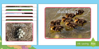 Brenda's Boring Egg Photo Pack - KS1, EYFS, Photo cards, Science, animals, the ugly duckling, ducks, ducklings, duck life cycle, bird