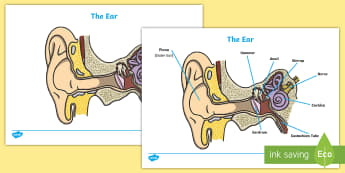 Ear Diagram and Labelling Worksheet / Activity Sheet - ear, biology, worksheet, how does the ear work, hammer, anvil, nerve, pinna, cochlea, eardrum, activity, sheet