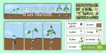 Affiches : Le cycle de vie d'un haricot - plante, plantes, plants, fleurs, flowers, végétaux, le vivant, cycle de vie, life cycle, reproduct