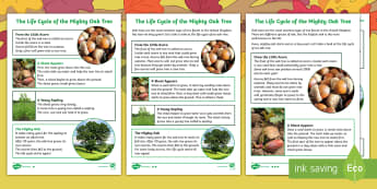 Little Acorns: Life Cycle of an Oak Tree  Differentiated Fact File - Twinkl originals, fiction, KS1, Year 1, Year 2, Reading, Science, Oaks, Acorns, Acorn, Trees, Britis