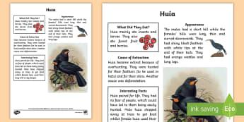 New Zealand Extinct Birds Huia Fact Sheet - Huia, native birds, extinct, extinction, New Zealand, animals, Aotearoa