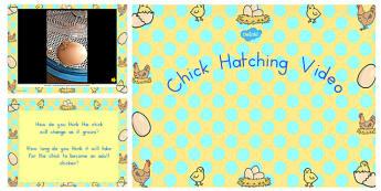 Chick Hatching Video PowerPoint - australia, chick, hatching