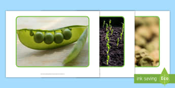 Life Cycle of a Pea Plant Display Photos - EYFS, Early Years, KS1, Key Stage 1, Life Cycles, Plant Life Cycles, Peas, Pea pods, vegetables, The
