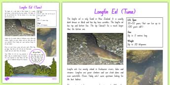 New Zealand Native Eels Fact File - nz, New Zealand, animals, native, factfile, eels