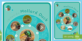 Brenda's Boring Egg Life Cycle of a Duck Display Poster - twinkl originals, fiction, KS1, EYFS, Science, Animals, Life cycle