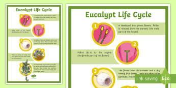 Eucalypt Life Cycle Display Poster  - eucalyptus, gumtree, gum tree, gumnuts, Australian plants, ACSSU030,  ACSSU072,Australia