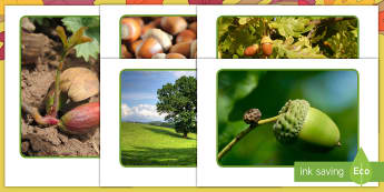 Life Cycle of an Oak Tree Display Photos - Little Acorns, Twinkl Originals, Twinkl Fiction, Autumn, Seasons, Plants and Growth, Growing, seeds,