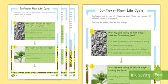 Sunflower Differentiated Reading Comprehension Activity - Sunflowers, plants, Life Cycle, Summer, Spring, Plant Life cycle, seeds, Flower