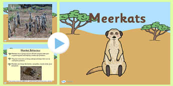 Safari Meerkat Information PowerPoint - safari, on safari, safari powerpoint, meerkat, meerkat powerpoint, meerkat information powerpoint, meerkat facts