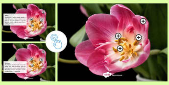 Parts of a Flower Picture Hotspots - Picture hotspots, flower, pollination - Picture hotspots, flower, pollination, Twinkl Go, twinkl go, TwinklGo, twinklgo