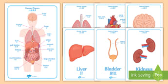 Human Body Organs Display Posters English/Mandarin Chinese - brain, heart, lungs, liver, stomach, bladder, biology,