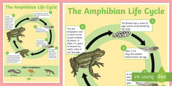 The Life Cycle Of A Frog Ks1 Resource
