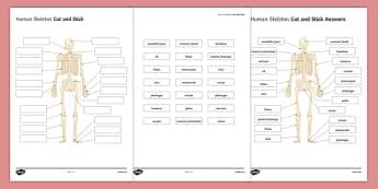 KS3 Human Skeleton Cut and Stick Activity Sheet, worksheet, plenary activity