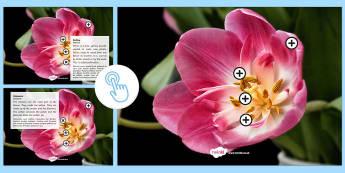 Parts of a Flower Picture Hotspots Romanian Translation-Romanian-translation - Picture hotspots, flower, pollination,Romanian-translation