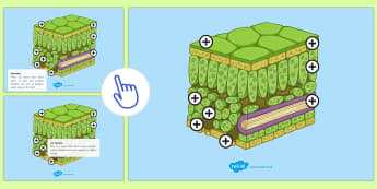 Structure of the Leaf Picture Hotspots - KS3/4,Picture,Hotspots, Leaf Structure, Plants