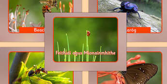 Irish Insects and Minibeasts Display Photos Gaeilge - roi, irish, gaeilge, vocabulary, display photos, insects, minibeasts
