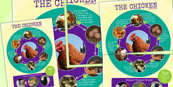 Hen Life Cycle Photo Large Display Poster - minibeasts, lifecycle