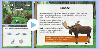 Great Canadian Animals PowerPoint - Great Canadian Animals, grizzly, bear, grizzly bear, lynx, moose, loon, beaver, habitat, animal feat