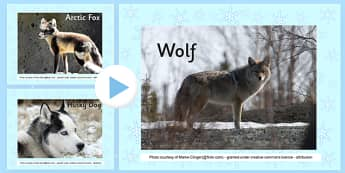 Winter Animals Photo Display PowerPoint - powerpoint, power point, interactive, powerpoint presentation, winter animals, winter animals photos, winter animals presentation, winter animals powerpoint, presentation, slide show, slides, discussion aid,