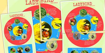Ladybird Life Cycle Photo Large Display Poster - minibeasts, bugs