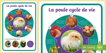 Grand poster : Le cycle de vie de la poule  - poule, cycle de vie, sciences, cycle 1, cycle 2, cycle 3, hen, chicken, life cycle, Pâques, Easter,