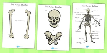 Human Skeleton Cut Outs (Common Names) - human, ourselves, skeleton, science