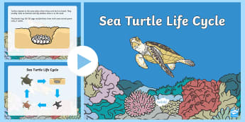 Sea Turtle Life Cycle PowerPoint - life cycle, life cycle of a sea turtle, under the sea, life cycle powerpoint, life cycle video, sea turtle powerpoint