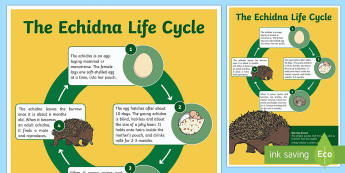 Life Cycle of an Echidna Display Poster - Australian Curriculum Biological sciences, life cycles, lifecycle, echidna lifecycle, echidna life c