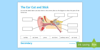 The Ear Cut and Stick Activity Sheet - Cut and Stick, ear, the ear, parts of the ear, structure of the ear, sound, hearing, worksheet