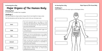 Major Organs of the Human Body Activity Sheet - internal organs, amazing fact a day, activity, activities, organs, human body, worksheet