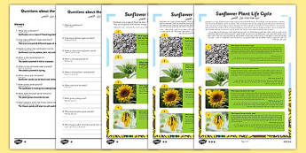 Sunflower Plant Life Cycle Differentiated Reading Comprehension Activity Arabic Translation - arabic, plant, plants, life cycle, reading, KS1, comprehension, questions