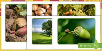 عرض صور - دورة حياة شجرة البلوط  - ثمرة البلوط الصغيرة ، توينكل الأصلي، توينكل الخيال، ال