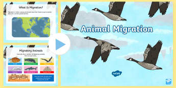 Animal Migration PowerPoint - ACSSU043, adaptation, adapt, hibernate, monarch butterfly, geese, salmon, Australia