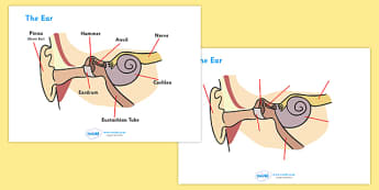 Ear Worksheets - ear, biology, worksheet, how does the ear work, hammer, anvil, nerve, pinna, cochlea, eardrum, activity, sheet