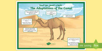 Camel Adaptations A4 Display Poster Arabic/English - Science, UAE, animals, living, world, Arabian, leopard, camel, falcon, oryx, saluki, lizard, sand, m