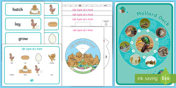 Brenda's Boring Egg Life Cycle of a Duck Resource Pack - KS1, EYFS, Science, Living things, animals, ducks, eggs, ducklings, birds, growing, babies, adults,