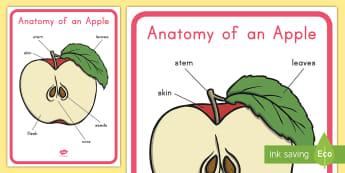 Anatomy of an Apple Display Poster - apple, apple diagram, apple poster, apple anatomy, life cycle of an apple, apple life cycle, fall