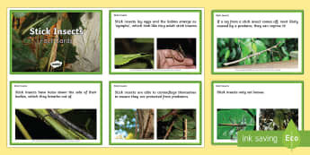 EYFS Stick Insect Fact Cards