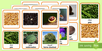 Seeds and Plants Matching Cards Matching Cards Arabic/English - the tiny seed, display, nature, science, labels, plants, life cycle, visual aid,EAL Arabic,Arabic-tr